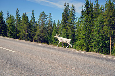 White reindeer at the road side - p715m880654 by Marina Biederbick