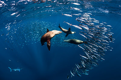 Sea lions hunting and feeding on mackerel baitballs - p924m2068385 by Rodrigo Friscione