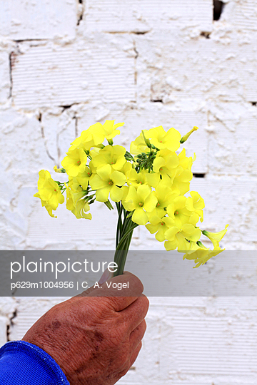 Gelbe Blumen vor Mauer - p629m1004956 von C. A. Vogel