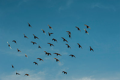 Flock of racing pigeons in flight - p1047m1044426 by Sally Mundy