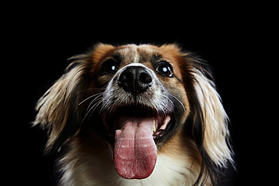 Close-up of dog panting against black background - p1166m1555715 by Cavan Images