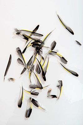 Viele Federn - p451m1487125 von Anja Weber-Decker