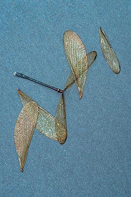 Dead dragonfly - p971m2289387 by Reilika Landen