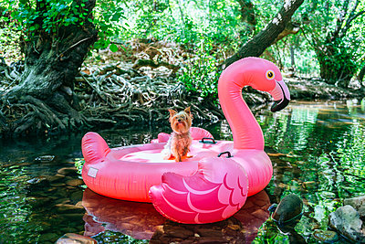 Yorkshire terrier floating on water on an inflatable flamingo - p300m2042128 von Kiko Jimenez