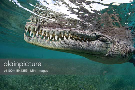 Nino, a socially interactive crocodile at the Garden of the Queens, Cuba. Underwater shot, close up of the animal snout.  - p1100m1544353 by Mint Images