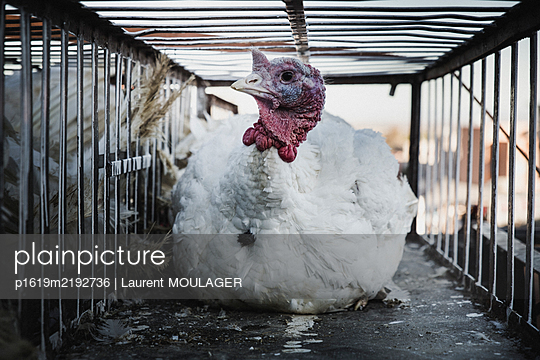 Moroccan Chicken in a cage on a food market in Marrakech - p1619m2192736 by Laurent MOULAGER
