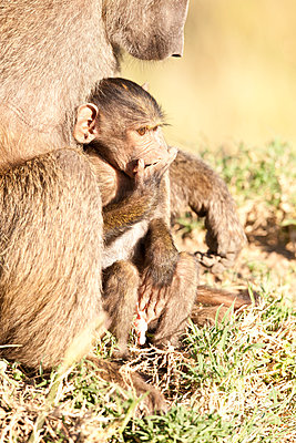 Young baboon - p533m1451913 by Böhm Monika