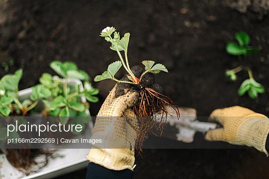 Person prepares strawberries seedling for planting - p1166m2292569 by Cavan Images