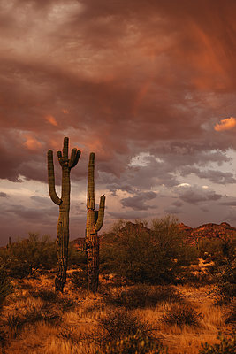 Saguaro's in the sunset - p1166m2130314 by Cavan Images