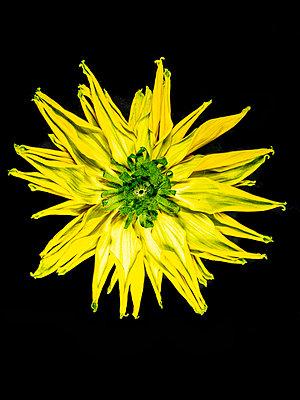 Rudbeckia Blossom - p401m2224600 by Frank Baquet