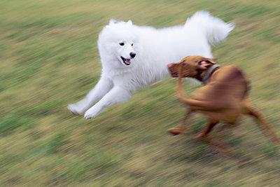 Hunde jagen einander über Schneefeld - p739m966510 von Baertels