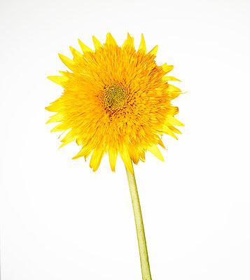 Sunflower - p803m2286005 by Thomas Balzer