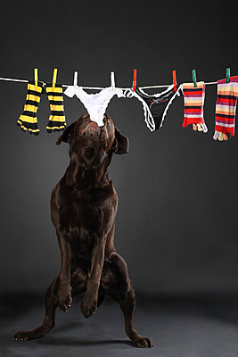 Dog stealing underwear from clothes line - p4031009 by Helge Sauber