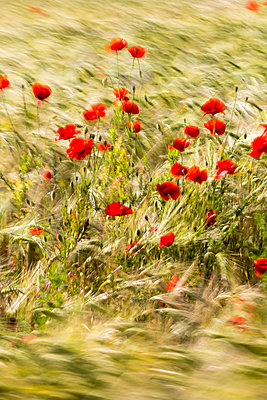 Barley field with corn poppies - p739m1030874 by Baertels