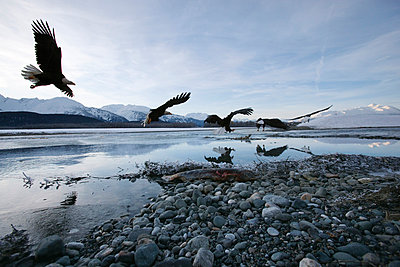 Bald Eagle swooping down on salmon along Chilkat River - p884m863711 by Matthias Breiter
