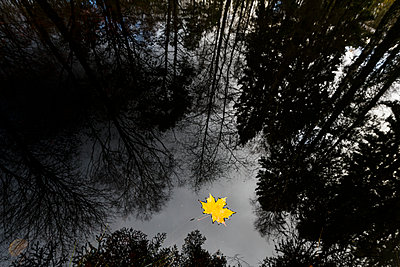 Yellow maple leaf floating on water - p312m1533029 by Mikael Svensson