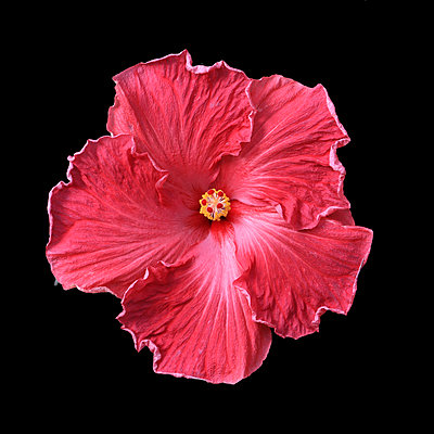 Hibiscus blossom on black background - p977m1159476 by Sandrine Pic