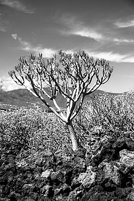 Small dragon tree at Lanzarote Island, Canary Islands - p1682m2264046 by Régine Heintz