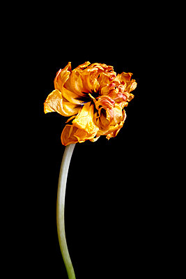 Withered tulip in front of black background - p300m1449715 by Thomas Jäger