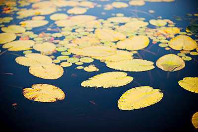 Lily pad - p8000080 by Emma McIntyre