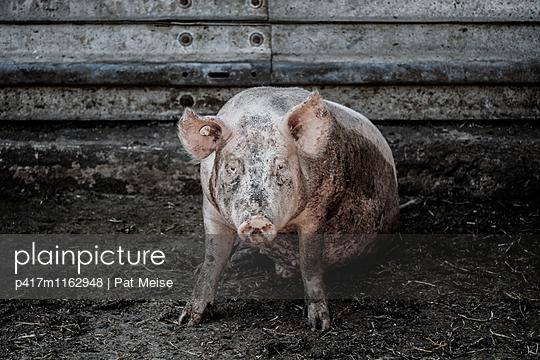 Schwein - p417m1162948 von Pat Meise