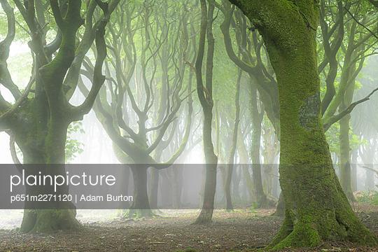 Creepy deciduous woodland in fog, Cornwall, England. Summer (July) 2020. - p651m2271120 by Adam Burton