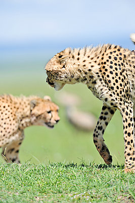 Two cheetahs - p533m1120363 by Böhm Monika