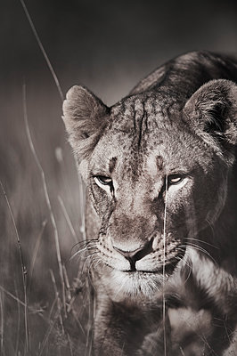 Lioness, close-up, Kenya - p706m2158450 by Markus Tollhopf