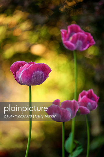 Pink opium poppy flowers on tall stems on a sunny day - p1047m2287978 by Sally Mundy