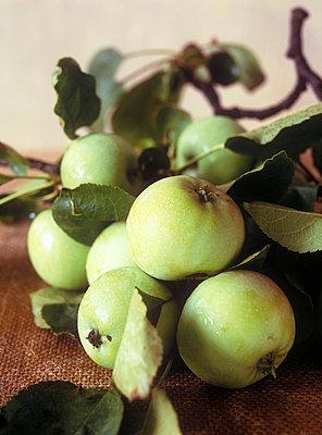 Apfelstaude - p2370132 von Thordis Rüggeberg