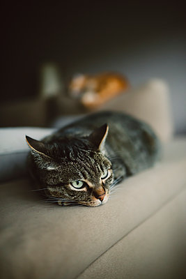 Close-up of tabby cat relaxing on sofa in living room - p300m2244007 by Ramon Espelt