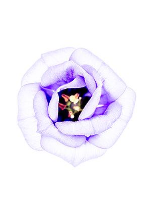 Lisianthusblüte - p401m2291096 von Frank Baquet
