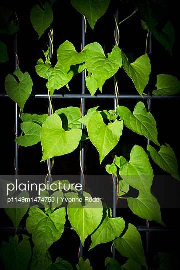 Climbing plant - p1149m1474753 by Yvonne Röder