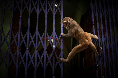 Monkey climbing on metal gate - p1007m1144300 by Tilby Vattard