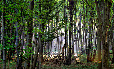 Ray of light falling into forest - p473m937187f by STOCK4B-RF