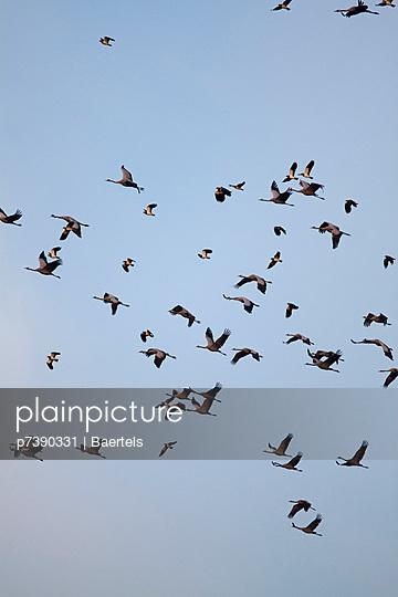 Vogelzug der Kraniche - p7390331 von Baertels