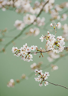 Close up delicate pink cherry blossoms on branch - p301m2101297 by Halfdark