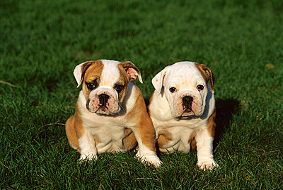 English Bulldog two puppies sitting in grass - p8841854 by Mark Raycroft