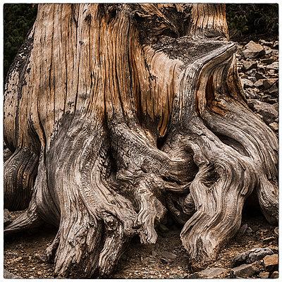 Wurzeln einer Borstenkiefer - p1154m1217566 von Tom Hogan