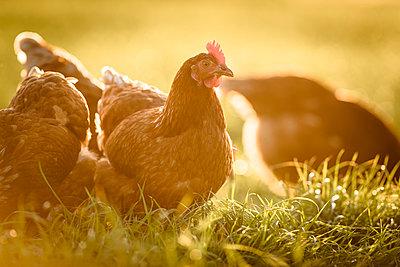 Freilandhühner - p1273m1578245 von melanka