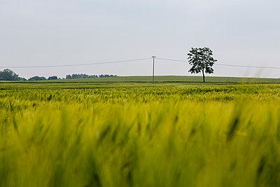 Germany, near Trassenheide, green cornfield and tree - p300m1153917 by Nadine Ginzel
