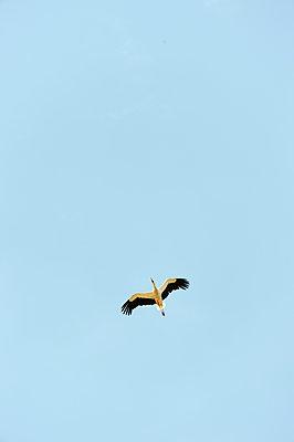 Storch im Flug - p1079m1184977 von Ulrich Mertens