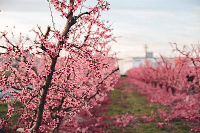 Spain, Lleida, peach blossom - p300m2102511 by Aitor Carrera Porté