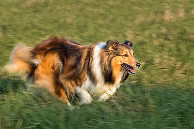Shetland Sheepdog running on meadow - p300m979044f by Stefan Schurr