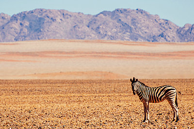 Zebras in the desert - p1065m885966 by KNSY Bande