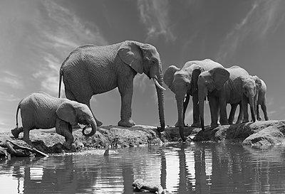Elephant family - p616m2053519 by Thomas Eigel