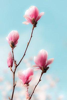 Magnolienblüten - p6470127 von Tine Butter