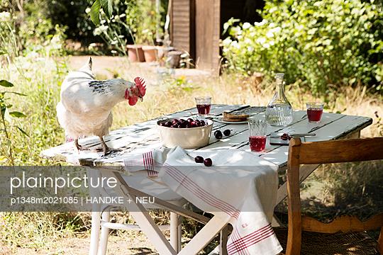 Kirschenernte mit Huhn - p1348m2021085 von HANDKE + NEU