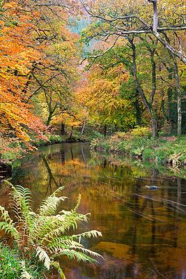 Beautiful autumnal colours line the banks of the River Teign at Fingle Bridge - p871m732018 by Adam Burton