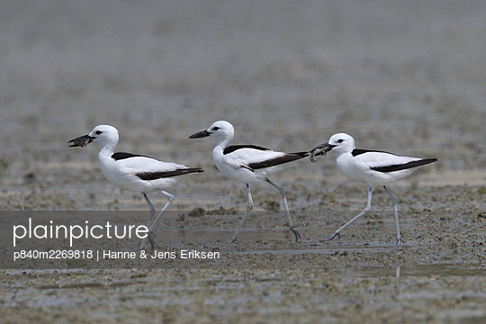 Crab-plover (Dromas ardeola) three walking in a row on mudflat, two with food in beaks. Oman, June. - p840m2269818 by Hanne & Jens Eriksen